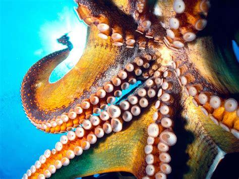 colorful octopus wallpaper octopus pictures ocean octopus creature pictures