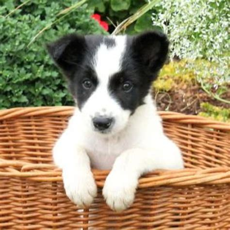 collie mix puppies border collie mix puppy litters for sale in hoobly classifieds