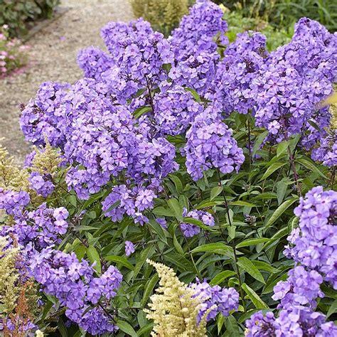 phlox paniculata blue paradise   flower garden
