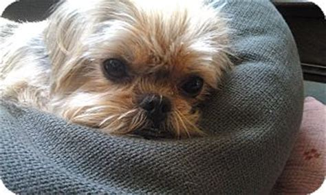 shih tzu brussels griffon mix precious adopted ny brussels griffon