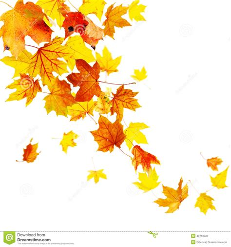 Autumn Leaves Stock Image Image Of Maple Flying Fall 43713737 Fall Leaves On White Background
