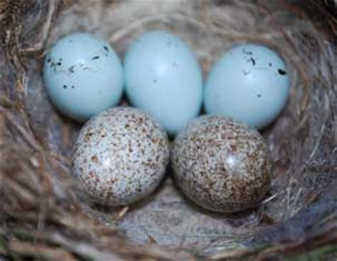 house finch eggs color althouse breakage