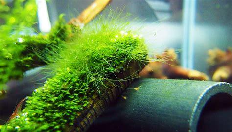How To Remove Green Algae From Patio by Green Hair Algae Ktrdecor
