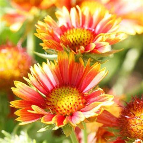 beautiful perennial flowers  suits  garden