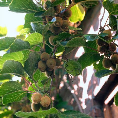 Best Online Fruit Tree Nursery - 56 best abc s of actinidiaceae images on pinterest hardy kiwi fruit trees and kiwi