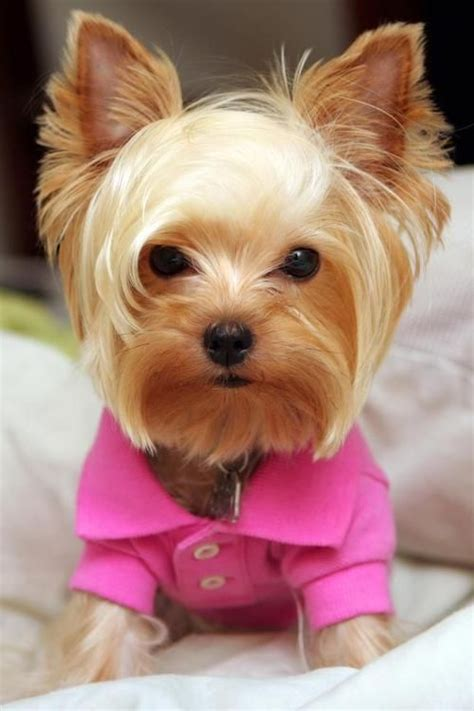 my yorkie is shaking 1000 ideas about terrier haircut on terriers yorkie