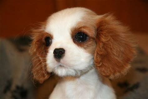 king charles puppy king charles cavalier puppies illawarra 4k wallpapers