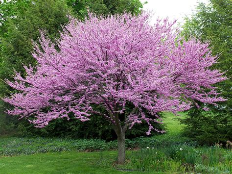 eastern redbud tree greetings from nashville