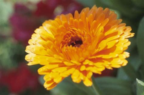 fiori dei morti i fiori per la commemorazione dei defunti pollicegreen