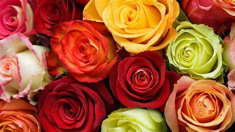 colorful rose wallpaper download rose wallpapers best wallpapers