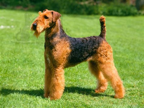 Giant Airedale Terriers | Dog Breeds Picture