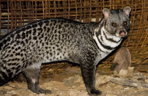 Asian Palm Civet - Pictures, Diet, Breeding, Life Cycle ...