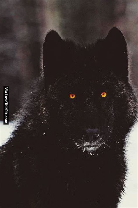 Black Wolf With Orange Eyes Pictures, Photos, and Images ... Growling Black Wolf With Yellow Eyes