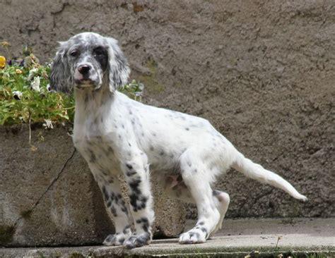 definition de setter natho roc mignon 233 levage de chien de chasse setter