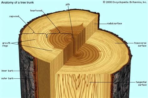tree cross section diagram heartwood plant anatomy britannica com