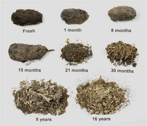 Pellet Like Stool by Picture Barn Owl Pellet Ageing Places Only