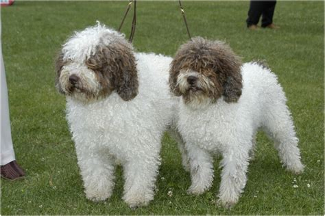 dog house in spanish spanish water dog breeders puppies facts pictures price temperament animals