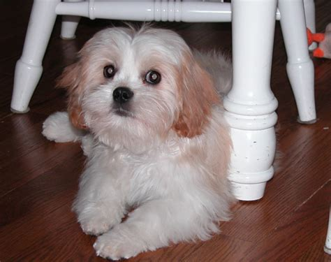 shih tzu king charles mix cava tzu cavalier king charles spaniel shih tzu mix temperament puppies pictures