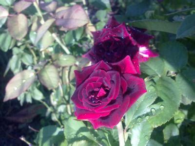 imagenes de rosas luto de juarez fotos de mis lindas rosas