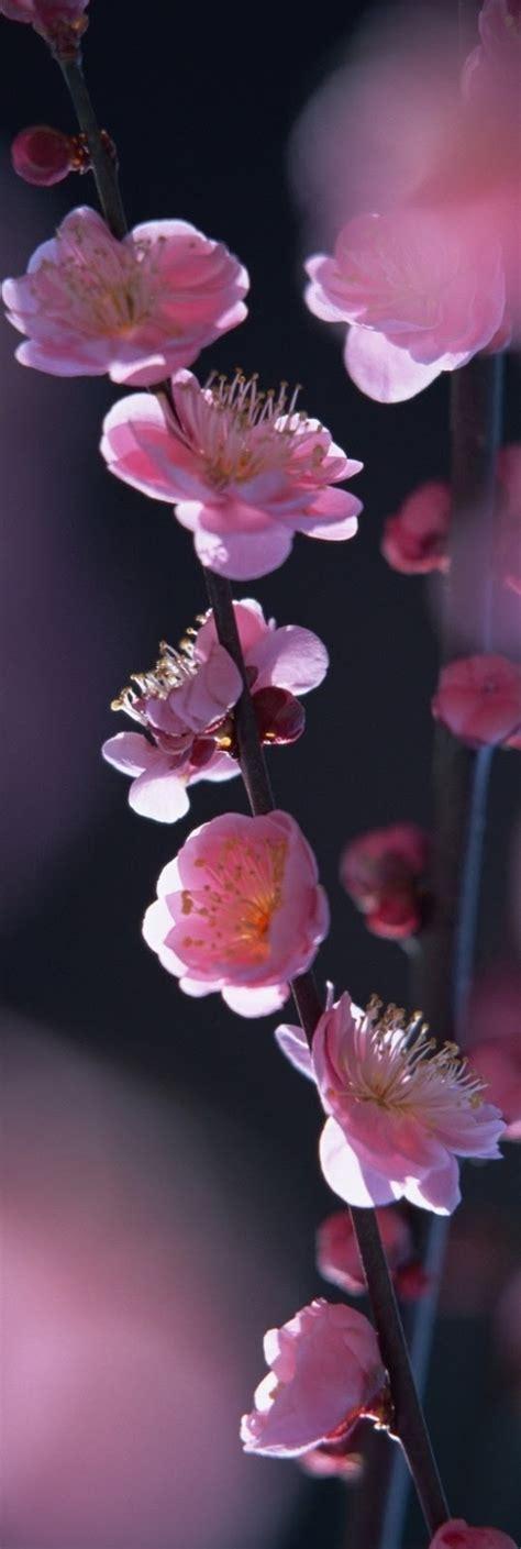pesco da fiore pesco da fiore la pianta per il giardino