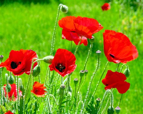buddy poppies red jpg 1250 215 1000 images for flanders