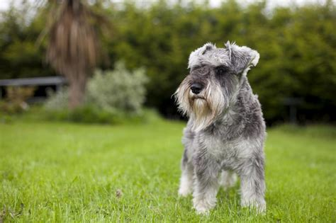 Do Schnauzers Shed by A List Of Small Dogs That Don T Shed But True