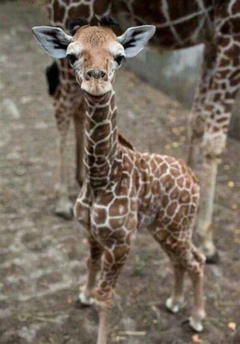 ver imagenes jirafas m 225 s de 25 ideas incre 237 bles sobre animales en pinterest