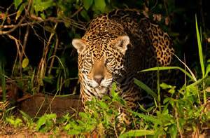 Jaguar Prey Photo Of The Day National Geographic Channel Middle