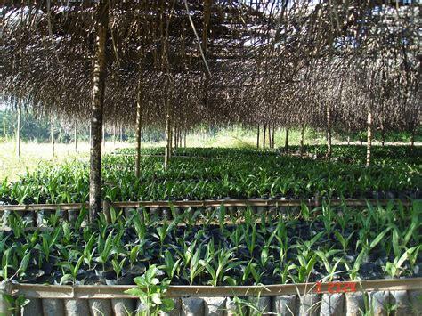 Jual Bibit Sawit Di Medan jual bibit kelapa sawit jual bibit kelapa sawit