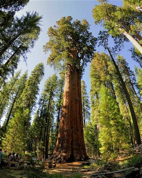 general sherman tree sequoia national park in california world s 7 most amazing trees giant sequoia general