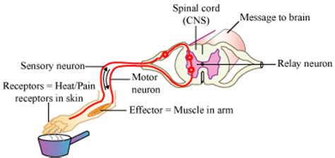 diagram of the reflex arc what is reflex arc draw neat diagram of the components in