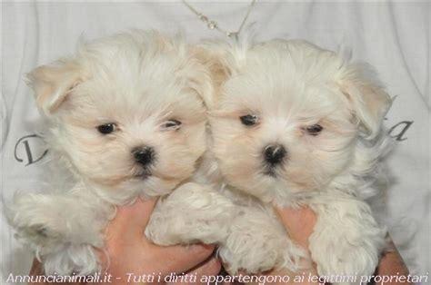 cagnolini da appartamento cani nani da appartamento maltese tra i cagnolini di