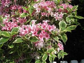 pictures of flowering shrubs beautiful flowers