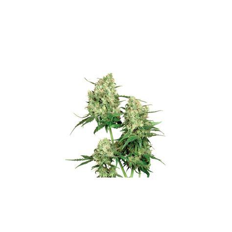 sensi seeds bank maple leaf indica sensi seeds bank canna shops