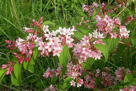flowering summer shrubs 80 best images about weigela on lace