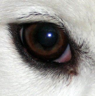 golden retriever eye discharge miniature poodle eye discharge photo