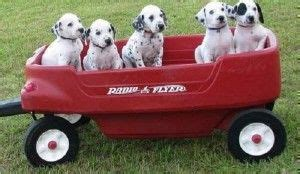 dalmatian puppies for sale in ga top 25 best dalmatian puppies for sale ideas on dalmatians for sale