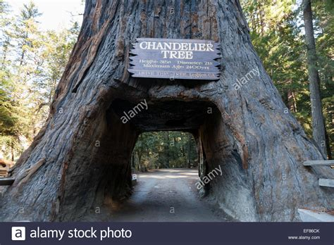 chandelier tree in the drive thru tree park drive thru tree park in leggett mendocino county usa