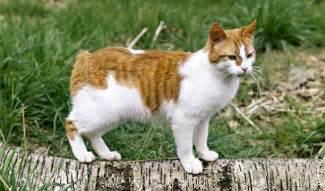 Pakan Kucing Happy Cat 18 Kg manx cat breed information animals manx