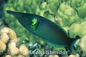 green bird wrasse bird wrasse gomphosus varius