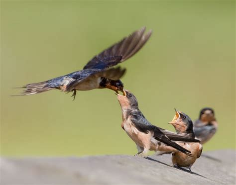 barn swallow earth rangers wild wire blog