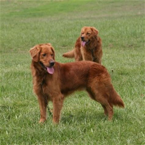 middle tennessee golden retriever golden retrievers at stud