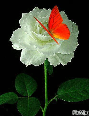 imagenes rosas con mariposas imagenes de flores con mariposas con movimiento fotos