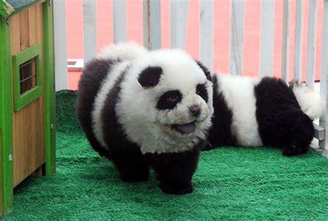 chow chow panda puppies chow chow panda memes