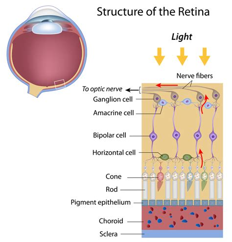 Color Blind Inheritance Layers Of The Retina Discovery Eye Foundation