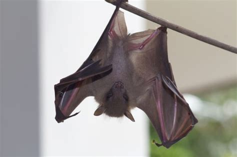 tips on how to look after young bats bird ecology study