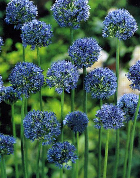 purple balls of allium flower bulb crazy