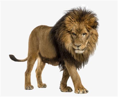 imagenes de leones de juguete un le 243 n wild animal ecolog 237 a archivo png y psd para