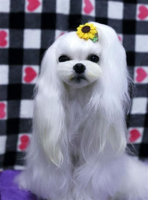 asian fusion maltese haircut 445 best asian fusion grooming images on pinterest dog