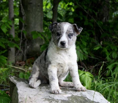 blue heeler puppies for sale in ky adorable blue heeler puppies puppyindex